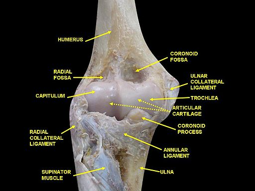 Elbow joint - deep dissection (anterior view, human cadaver)