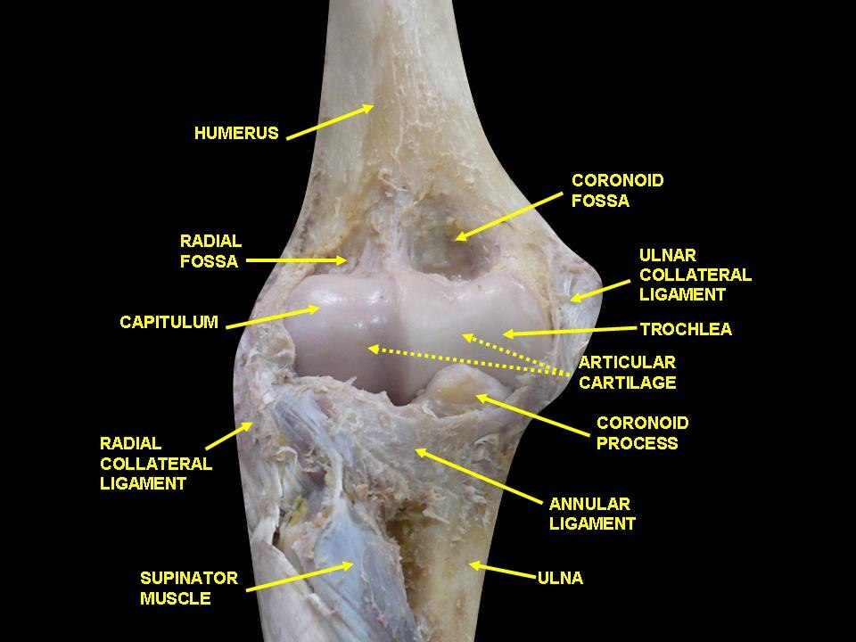 Ulnar Collateral Ligament Of Elbow Joint Howling Pixel