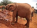 Elephant drinking water at elephant orphanage.jpg