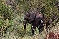 Elephant visitor at Tarangire Treetops (4) (28060669774).jpg