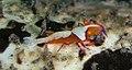 Emperor Shrimp (2278276475).jpg
