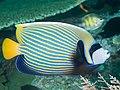 Emperor angelfish (Pomacanthus imperator) (32827796637).jpg
