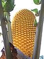 Encephalartos woodii young stem cone 12 09 2010.JPG