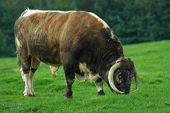 English Longhorn bull, Quenby.jpg