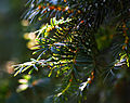 English Yew Tree (3385466265).jpg