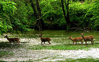North Carolina - Deer in the Eno River as it flows through the Piedmont region of North Carolina