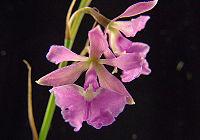 Epidendrum Campestre.jpg