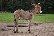 Equus asinus Kadzidłowo 001.jpg