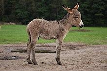 220px-Equus_asinus_Kadzid%C5%82owo_001.jpg