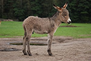 Donkey - A 3-week-old donkey