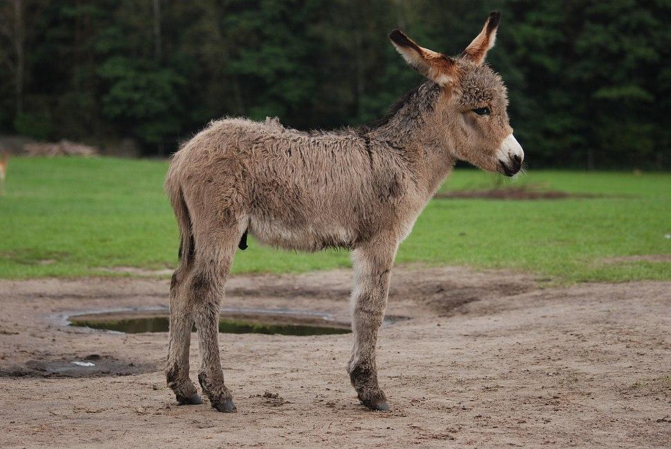 Equus asinus Kadzidłowo 001