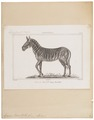 Equus burchellii - 1700-1880 - Print - Iconographia Zoologica - Special Collections University of Amsterdam - UBA01 IZ21700105.tif