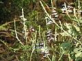 Eranthemum roseum Raan Aboli by Raju Kasambe DSCN3680 (2).jpg