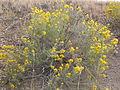 Ericameria nauseosa or Chrysothamnus nauseosus nauseosus (4004126859).jpg