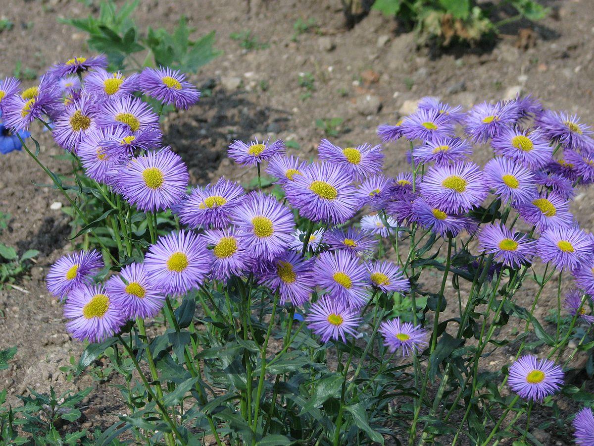 Image Result For Common Flower Garden Flowers
