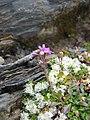 Erinus alpinus pyrenees.jpg