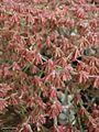 Eriogonum saxatile.jpg