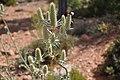 Eryngium duriaei-1.jpg