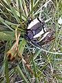 Escarabajo click 006.jpg