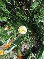 Eschscholzia californica-14.jpg