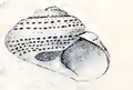 Ethalia guamensis 002.png