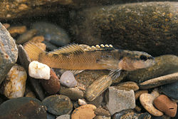 Etheostoma percnurum.jpg