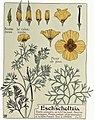 Etude de la plante - p.163 fig.215 - Pavot de Californie.jpg