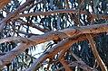 Eucalyptus bicostata DSC 1011 (7284523406).jpg
