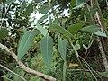Eucalyptus camaldulensis 26.JPG