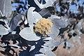 Eucalyptus pruinosa flowers.jpg