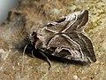 Eucarta virgo - Silvery gem (26185003197).jpg
