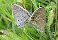 Euchrysops cnejus Fabricius, 1798 – Gram Blue mating at Madayippara (10).jpg