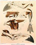 Eudyptes chrysocome00.jpg