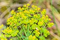 Euphorbia cyparissias in Lozere (2).jpg