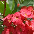 Euphorbia milii (Family Euphorbiaceae) - Flowers II.jpg