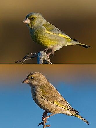 Chloris (bird) - European Greenfinch (Chloris chloris) Male above, female below