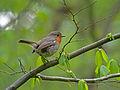 European Robin (Erithacus rubecula), Białowieża Forest, Poland.jpg