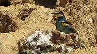File:European bee-eaters (Merops apiaster).webm