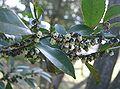 Eurya japonica4.jpg