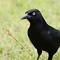 Face of a Grackle (14918438266).jpg