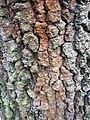 Fagales - Quercus robur - 54.jpg