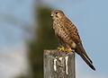 Falco tinnunculus, Israel 6.jpg