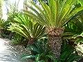 Fale - Giardini Botanici Hanbury in Ventimiglia - 632.jpg