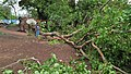 Fallen Bodhi Tree - 2018-04-17 Norwester Aftermath - Padmapukur Water Treatment Plant Road - Howrah 20180418081225.jpg