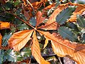 Fallen Horse-chestnut leaf - geograph.org.uk - 667123.jpg