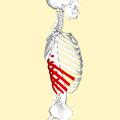 False ribs lateral2.png