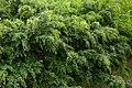 Falso laurel (Ficus benjamina) (14441837447).jpg