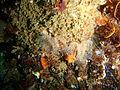 Fanworms at Castle Rocks P7260862.JPG
