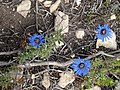 Felicia amoena subsp. latifolia dark disc habit.jpg