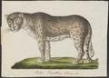 Felis pardus - 1700-1880 - Print - Iconographia Zoologica - Special Collections University of Amsterdam - UBA01 IZ22100208.tif